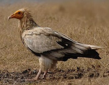 Egyptian_vulture.jpg